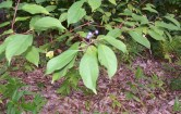 Buckthorn-maybe