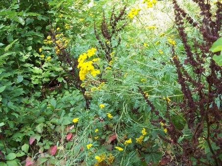 Yellow button plant1